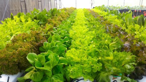 Hydroponik Salate