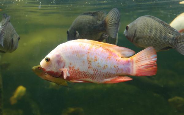 Tilapia Fische