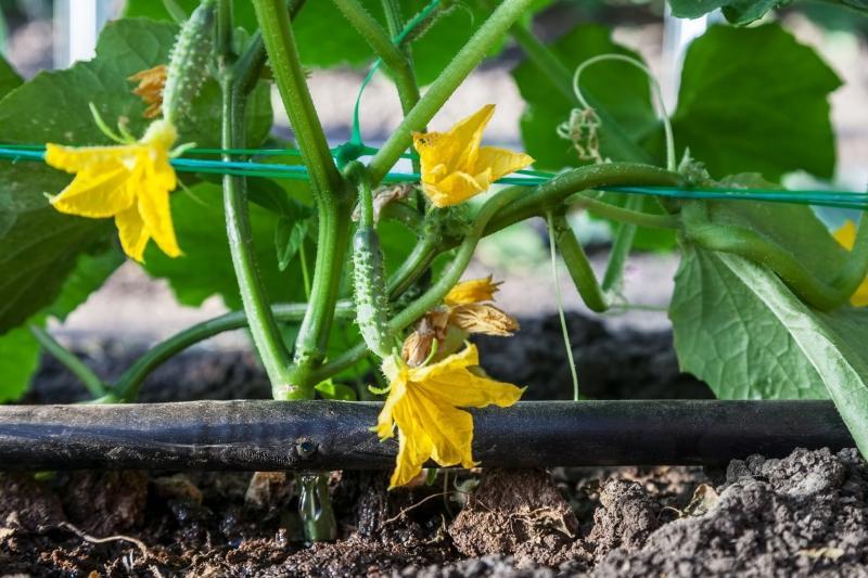 Anbau von Gurken mit Tropfbewaesserung