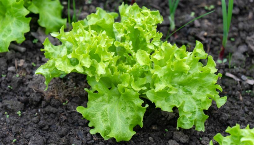 Auch innerhalb der Stadt kann man selbst Gemüse anbauen