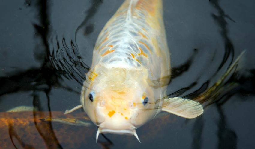 Welche Fischarten passen zu einem Aquaponic-System?