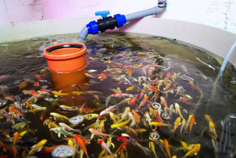 Fische im Aquaponic System