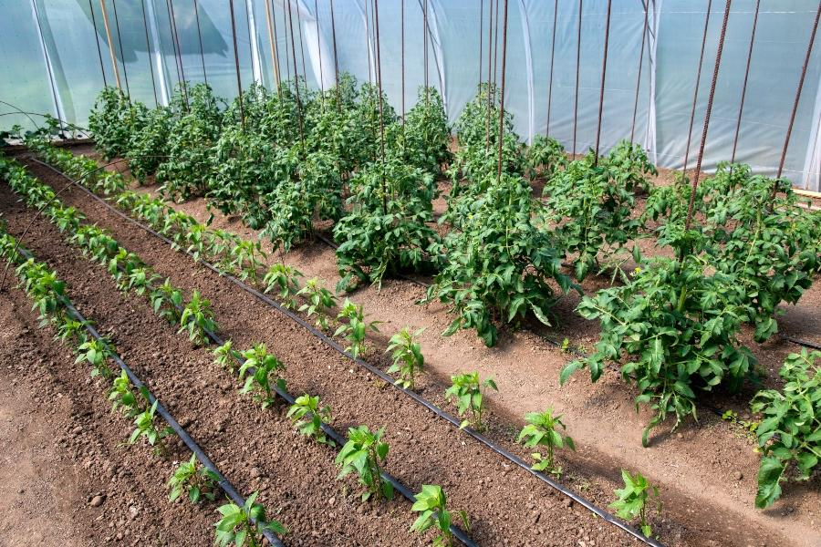 Bio-Tomaten- und Pfefferpflanzen in einem Gewaechshaus mit Tropfbewaesserungssystem tomaten-bewaessern