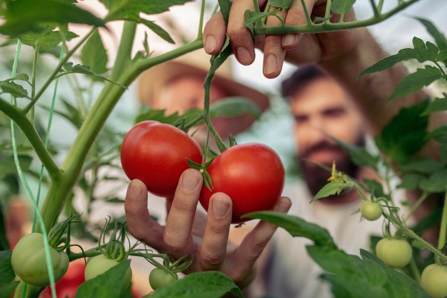 tomate-hobbygaertner-tomaten-bewaessern