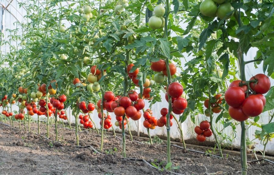 tropfbewaesserung-tomaten-tropfleitungen-gartenbewaesserung