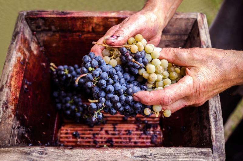 Weintrauben aus dem Garten