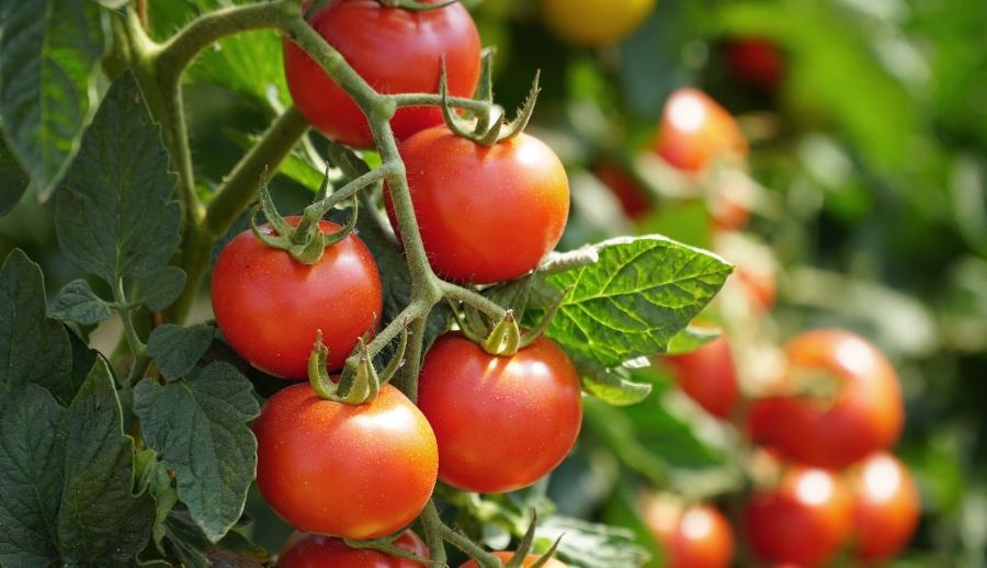Rote Tomaten am Strauch tomatenhaus
