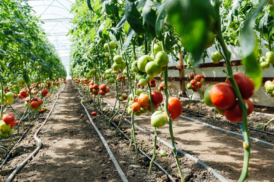 Tomaten im Gewaechshaus tomatenhaus