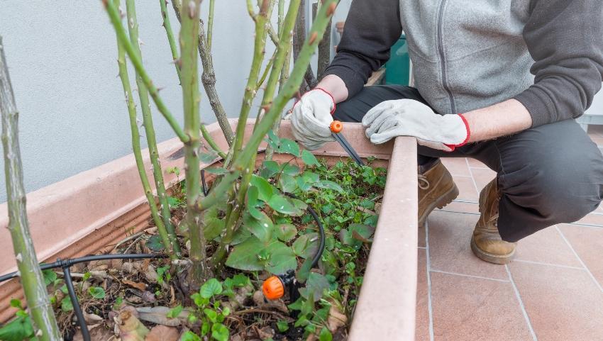 Mann installiert Mikrobewässerung in Kübelpflanze
