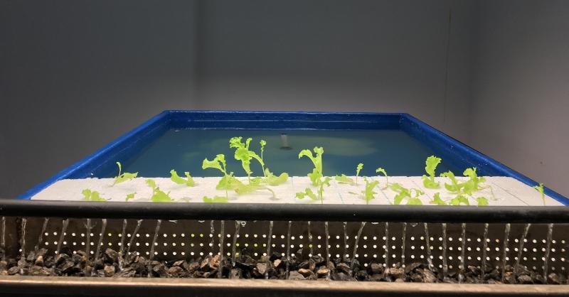 Blick auf eine Aquaponic-Anlage, im Vordergrund sind Pflanzensetzlinge zu sehen, im Hintergrund das Fischbecken