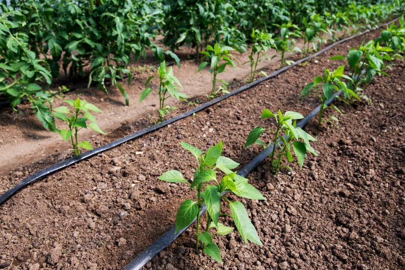 Mehrere Pflanzreihen, die mit einem Tropfschlauch bewässert werden Schwitzschlauch oder Tropfschlauch