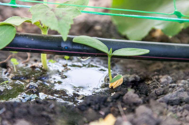 Ein Tropfschlauch bewässert junge Pflanzen Schwitzschlauch oder Tropfschlauch
