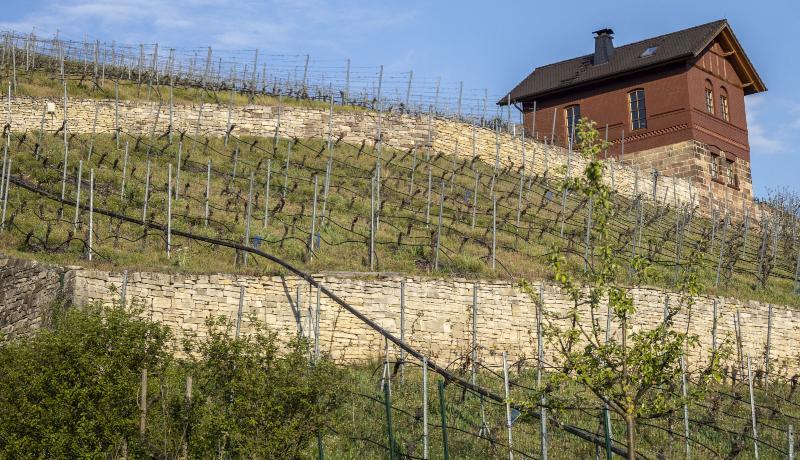 Zwischen den Reben eines Weinbergs sind Bewässerungsschläuche gespannt