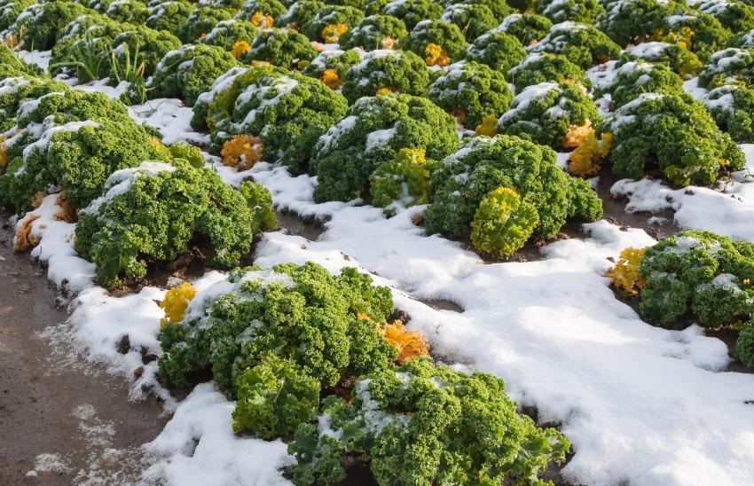 Grünkohl im Schnee