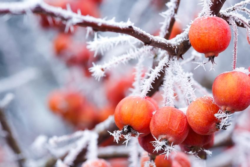 """Nahaufnahme """"Zieräpfel bei Frost"""" - Bewässerungssystem winterfest machen ist sinnvoll"""