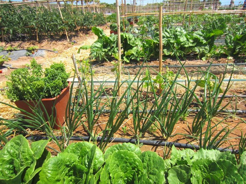 Gemüsebett mit Tröpfchenbewässerung - Automatische Pflanzenbewässerung ist bequem