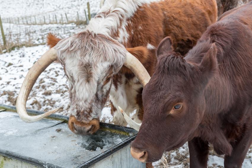 Kühe an einer gefrorenen Tränke