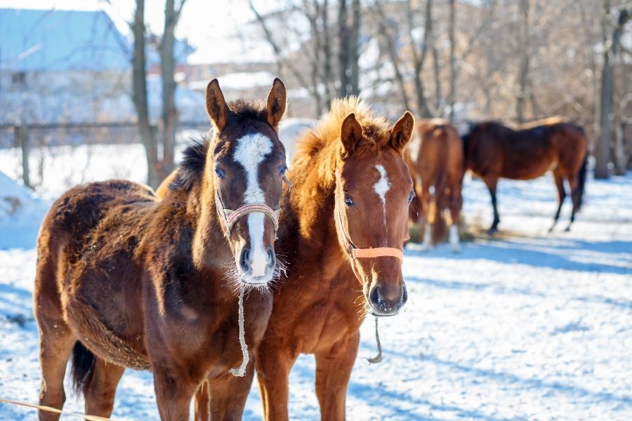 Pferde auf einer verschneiten Weide
