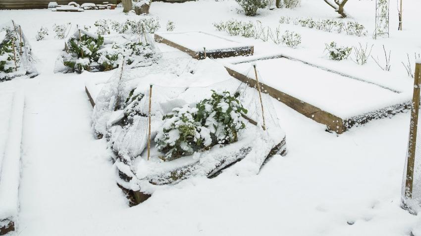 Wintergemüse im Garten bei Schnee