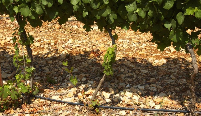 Tröpfchenbewässerung im Weinbau