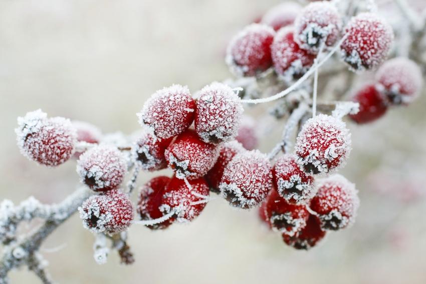 Weißdorn Beeren mit Frost - Bewässerung der Formgehölze und Beerensträucher nur bei Frostfreiheit