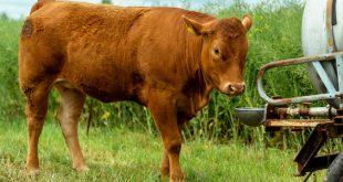 Kuh trinkt am Weidefass