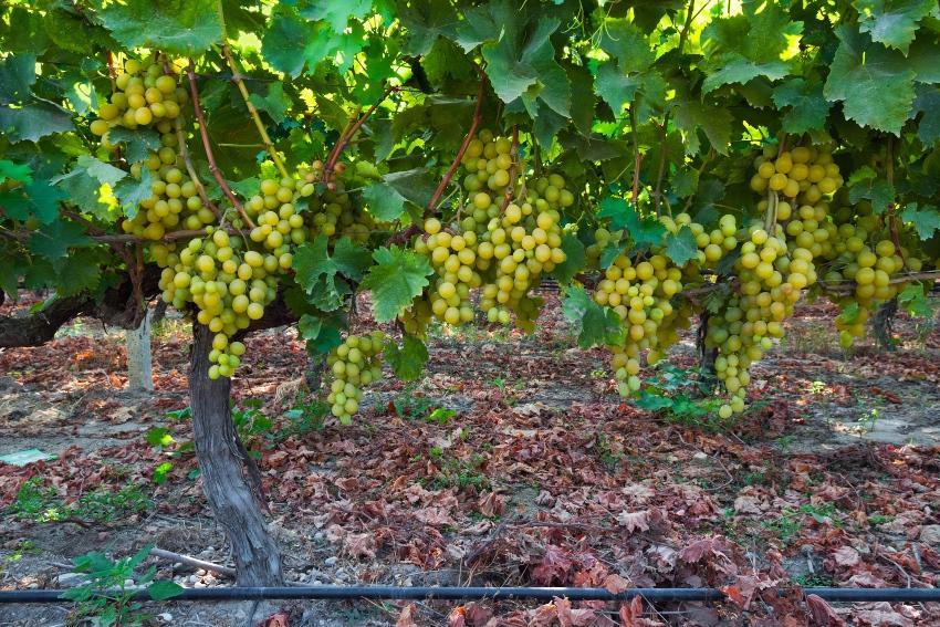 Weinreben mit Tröpfchenbewässerung - Tröpfchenbewässerung im Weinbau