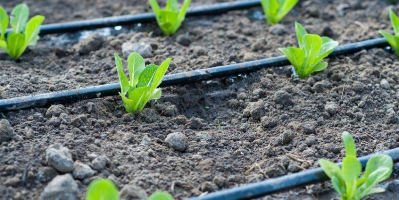Tropfbewaässerung bei jungen Pflanzen im Frühjahr