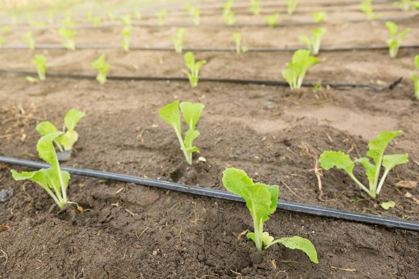 Junge Pflanzen mit Tropfbewässerung