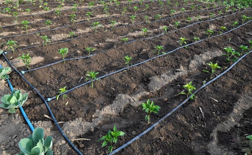 Tropfbewässerung im Gemüsegarten - Tipps für den Nutzgarten