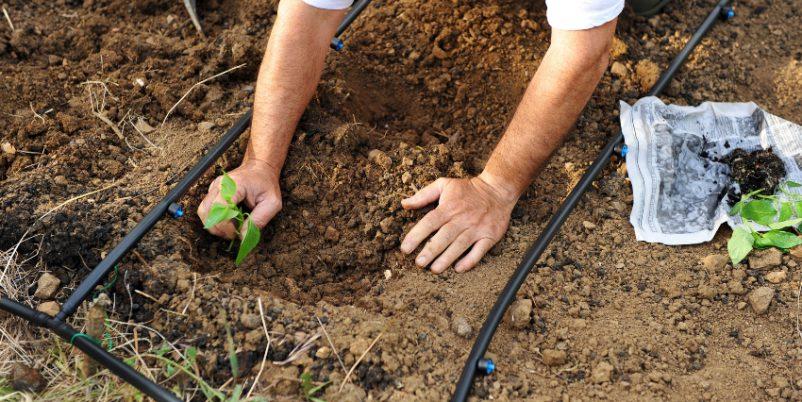 Mann pflanzt im Garten an-Tipps für den Nutzgarten