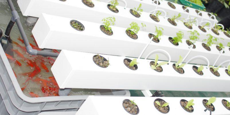 Aquaponik - Aquafarming und Hydrokultur kombinieren