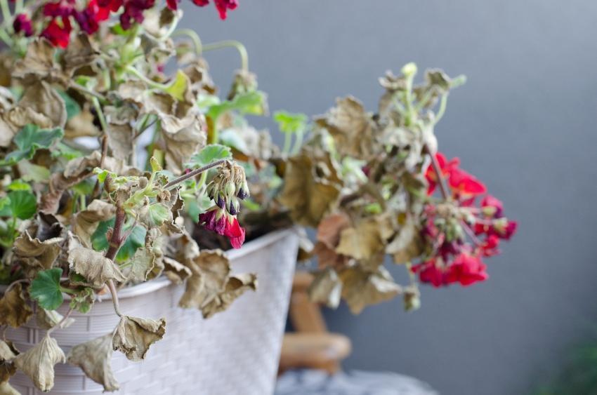 Verdorrte Balkonpflanzen - die Balkonbewässerung wurde vernachlässigt