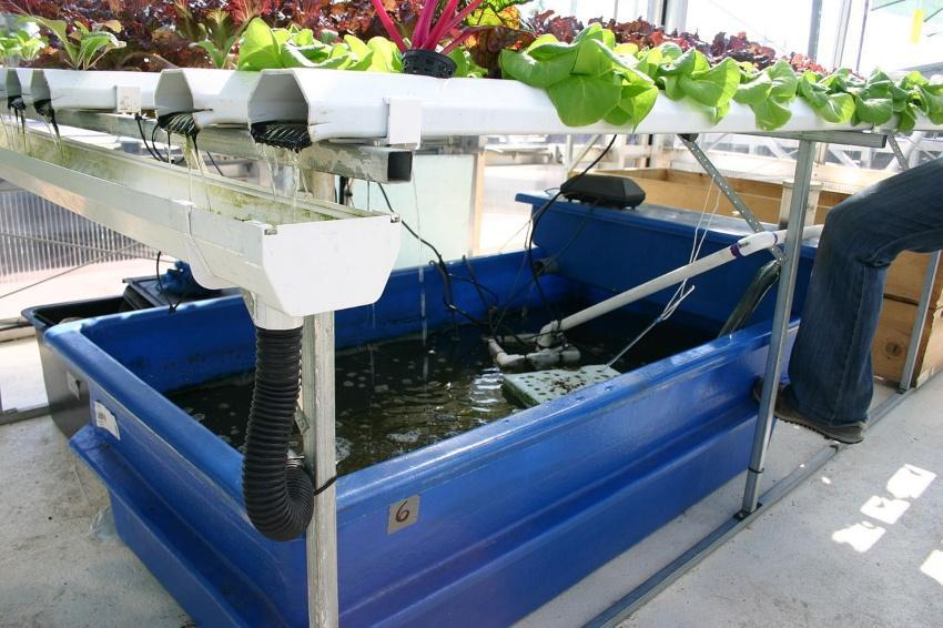 Aquaponik-System mit Pflanzen- und Fischzucht