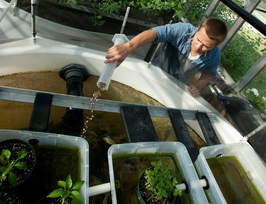 Jemand füttert die Fische in einem Aquaponik System - Ebbe-Flut-System