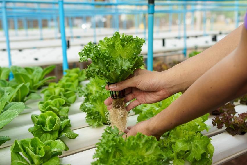 Hydrokultur - Pflanze kurz aus seinem Medium gehoben - möglich als Teil vom Aquaponicsystem