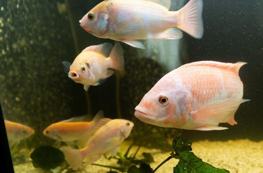 Tilapia ist eine beliebte Fischart für ein Aquaponicsystem