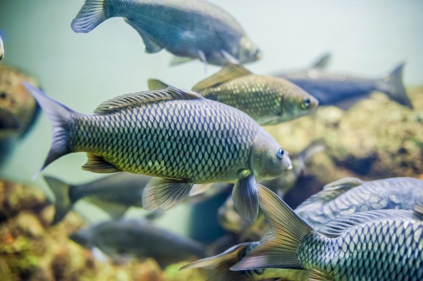 Für Aquaponik sind diverse Fischarten gut geeignet, beispielsweise der Tilapia