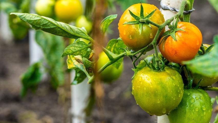 Tomatenstrauch, Nahaufnahme - Bodenfeuchte messen ist wichtig
