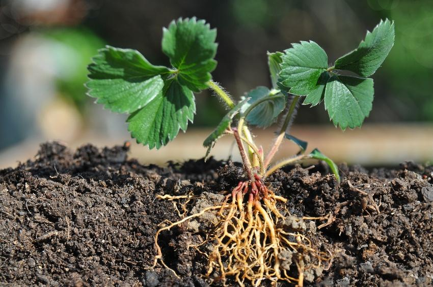 Junge Pflanze inklusive Wurzeln