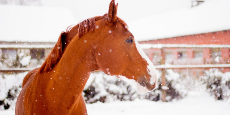 Pferd im Winter - angewiesen auf Thermotränke für Pferde
